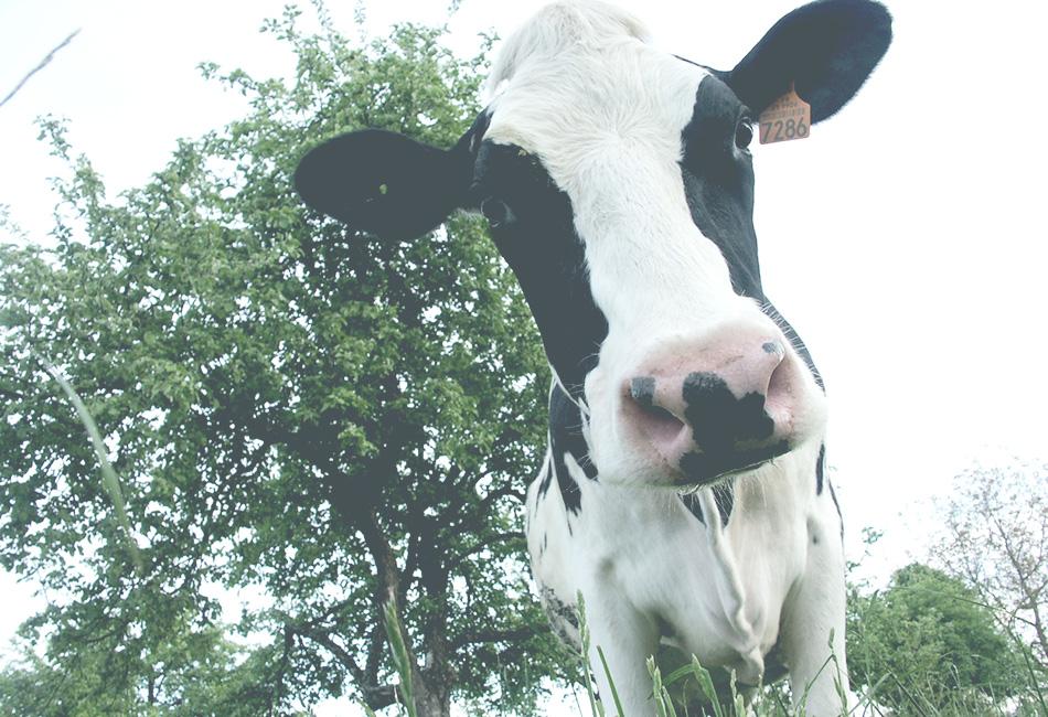 Le secteur bovins-laitiers