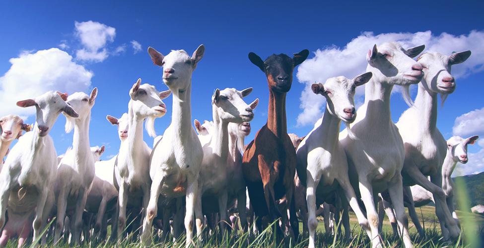 Le secteur ovins-caprins