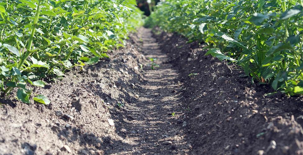 Le secteur pommes-de-terre