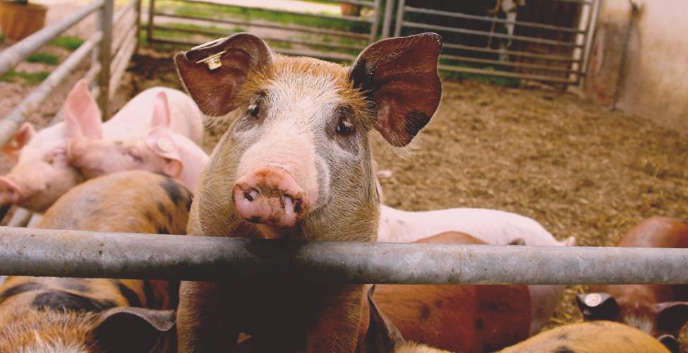Le secteur porcs
